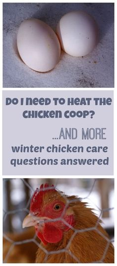 Do I need to heat the chicken coop? And more of your winter chicken care questions answered