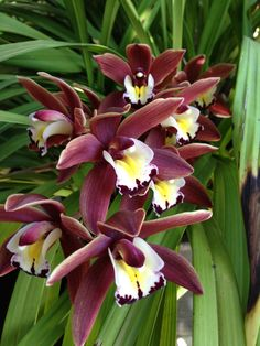 Brown Cymbidium Orchid Flower