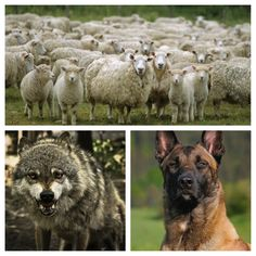 """""""Most of the people in our society are sheep. They are kind, gentle, productive creatures who can only hurt one another by accident.  Then there are the wolves, and the wolves feed on the sheep without mercy.  Then there are sheepdogs, and I'm a sheepdog. I live to protect the flock and confront the wolf."""" - excerpt from """"On Sheep, Wolves and Sheepdogs"""" by Dave Grossman - LTC (RET), author of """"On Killing."""""""