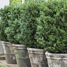 Boxwoods to cover the a/c units in basement