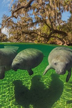 Manatees. I came across one once. It was so curious and gentle, came right up to me. Amazing!
