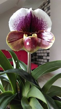 Excellent Toddler Shower Centerpiece Tips Paphiopedilum, Lady Slipper Orchid. Unusual Flowers, Rare Flowers, Beautiful Flowers, Orchid Varieties, Orquideas Cymbidium, Lady Slipper Orchid, Types Of Orchids, Rare Orchids, Orchidaceae