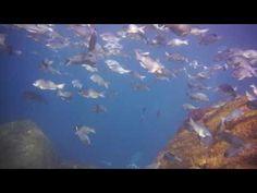 シニアが少人数でメジナの大群と泳ぐ熱海沖初島のダイビング