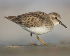 Least Sandpiper. Seen at the Las Vegas Wash at Vegas Valley on 1/13/15.
