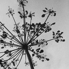 Opdracht 24 #anderskijken #silhouet Berenklauw. iPhone app Hipstamatic (Lens: Lowy, Film: US1776).