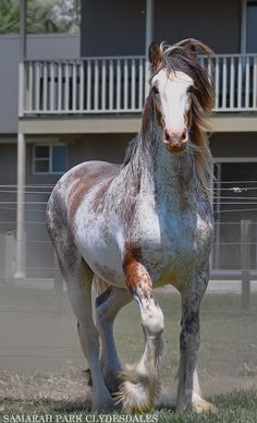 Draft horses - Strawberry Roan Clydesdale - from Samarah Park Clydesdales All The Pretty Horses, Beautiful Horses, Animals Beautiful, Cute Animals, Cheval Pie, Majestic Horse, Draft Horses, Appaloosa, White Horses
