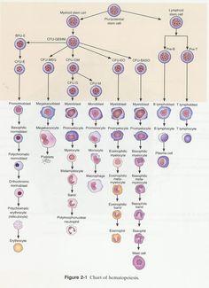 Chart of hematopoeisis.    from Photobucket.