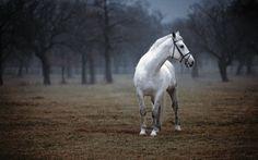 lipizzan horse  | foto:  joco Žnidaršič