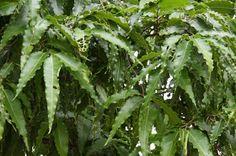 (1)  (2)  (3) Planta da família Annonaceae , a  Polyalthia longifolia  Sonn é originária da Índia (onde as fotografias foram obtidas) e do S...
