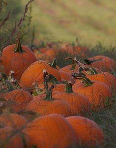 Beautiful pumpkin patch