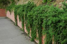 Trailing rosemary in New Zealand, at the Wellington Botanic Garden Beautiful Bathrooms, Horticulture, Botany, Botanical Gardens, Garden Plants, Perennials, Favorite Color, Seeds, Planters