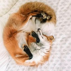 Snow outside makes us feel all cozy inside - so here's an adorable sleeping Fox! Snow outside makes us feel all cozy inside - so here's an adorable sleeping Fox! Cute Funny Animals, Cute Baby Animals, Funny Cute, Animals And Pets, Farm Animals, Cute Creatures, Beautiful Creatures, Animals Beautiful, Pet Fox