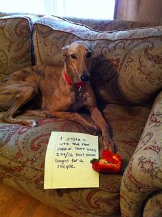 """""""Macy is a very sneaky Greyhound and the only dog I've ever had that likes fruits and vegetables. She stole this red pepper while I was unpacking the groceries and was having lunch on the sofa when I discovered it."""""""