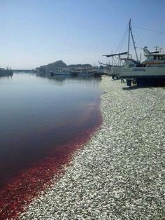 This is what 200 tons of dead sardines looks like.