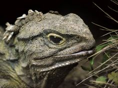 Phew, it wasn't the zoo - MSM NEWS STORY. A breed-and-release programme to save tuatara has been cleared of infecting wild animals with a feared fungus. Animals And Pets, Baby Animals, Cute Animals, Wild Animals, Kiwiana, Reptiles And Amphibians, Fauna, Endangered Species, Tropical Fish