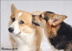 "Corgis. ""Listen, oooo, do you wanna know a secret? Do you promise not to tell?"""