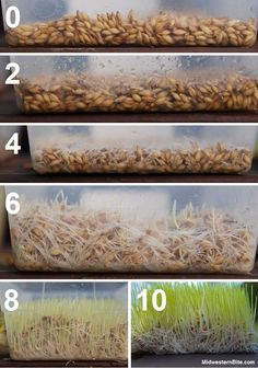 Grow Barley Fodder for chickens & rabbits - worth coming back to this blog…