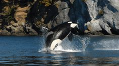 Oldest southern resident orca 'Granny' has died, whale researchers say | CTV Vancouver Island News