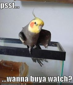 """Shady cockatiel, """"Psst, wanna buy a watch?"""" *Cockatiels like to stretch the way people do, and fenteling indicates they're ready for action! Funny Birds, Cute Birds, Animals And Pets, Funny Animals, Cute Animals, Cockatiel, Budgies, Beautiful Birds, Animals Beautiful"""