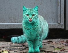 Locals in Varna, Bulgaria, assumed this cat was the victim of a cruel prank by vandals. But it has now been revealed that the cat has developed a green hue because it usually sleeps on an abandoned heap of synthetic green paint in a garage.