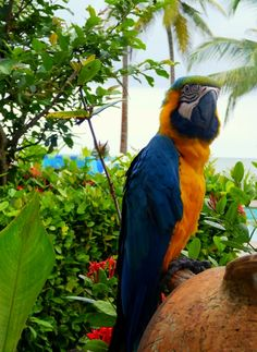 Just another stunning example of Colombias fauna: The blue-and-yellow macaw has its home in tropical South America. He is famous for ist striking blue and yellow colour, and when in human contact he easily develops the ability to talk. #macaw #parrot #southamerica #colombia #Tropical #colourful #bird #Fauna #avifauna #animal #travel #travelandmakeadifference