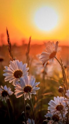 Wonderful Sunset with Margaritas Beautiful Nature Wallpaper, Beautiful Landscapes, Beautiful Flowers, Flower Pictures, Nature Pictures, Pretty Pictures, Landscape Photography, Nature Photography, Flower Phone Wallpaper