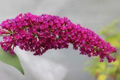 Buzz™ Velvet - Buddleja Collection Butterfly Bush, Image Types, Velvet, Flowers, Plants, Collection, Google, Plant, Royal Icing Flowers