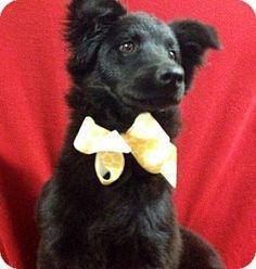 Hudson, NH - Retriever (Unknown Type) Mix. Meet Kassie a Dog for Adoption.