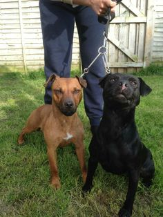 Patterdale Terrier, Different Dogs, Moto Guzzi, Working Dogs, Canes, Terriers, Small Dogs, Wolves, Animals And Pets
