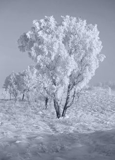 Trees on Rannoch Moor, Scotland,  with thick hoar frost.