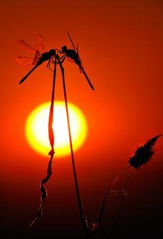 ecocides:  Dragonfly love at sunset | image byFrancisco Mingorance