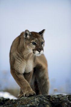 Animais selvagens #animals #mountain lion