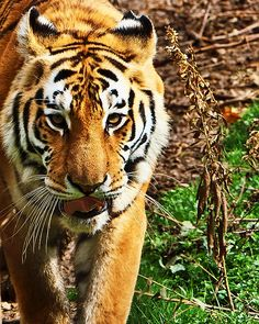 This beautiful tiger paces back and forth in his enclosure at The Exotic Feline Rescue Center located in Center Point, IN.