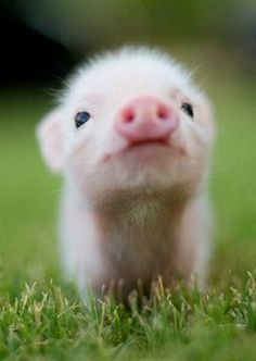 This little piglet is the sweetest little thing <3