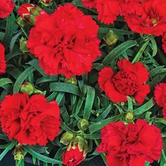 Red Allure Carnation