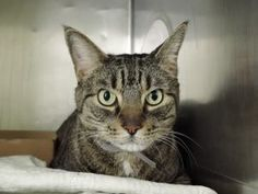 HELP!!! ***TO BE DESTROYED 02/19/17*** KITTY WAS ORIGINALLY ADOPTED FROM THE ACC AND WAS RELAXED AND AFFECTIONATE AND GOOD WITH KIDS - BUT OWNER RETURNED HIM FOR
