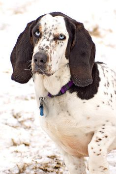 Basset Hound with blue eyes...what r they more color combos then doxies ? dare I ask  don't hate the messanger