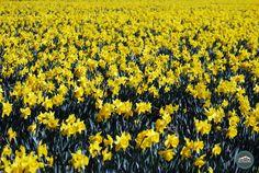 #Daffodils at the Skagit Valley Tulip Festival in Mt. Vernon