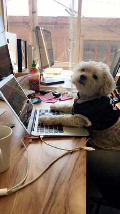 Rocco is a hard working dog on the Pinterest Comms team