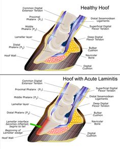 Advice about Laminitis - a painful condition of the feet. The actual word laminitis means 'inflammation (itis) of the sensitive laminae (lamin)'.