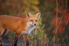 Loving those autumn colors... 365 days fox marathon Day 247 #365daysfoxmarathon #photography #wildlife