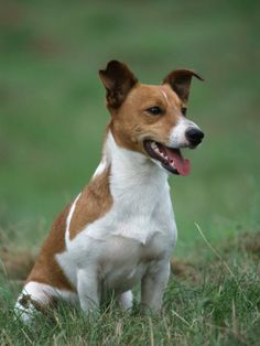 The Jack Chi is a cross between a Chihuahua and a Jack Russell Terrier. Description from ticovuj.pev.pl. I searched for this on bing.com/images
