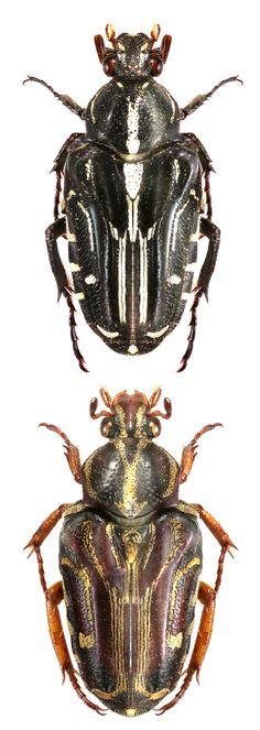 Taeniodera monacha ssp. nigra; Taeniodera monacha ssp. sumatrana