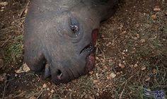 """ازدياد سعر """"قرن"""" وحيد القرن يزيد من…: ارتفع سعر قرن حيوان وحيد القرن بشكل كبير، حيث يعتقد حاليًا بأن قيمته أكثر من وزنه ذهبًا، ما أدى إلى…"""