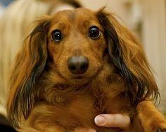 looks like my first dachshund