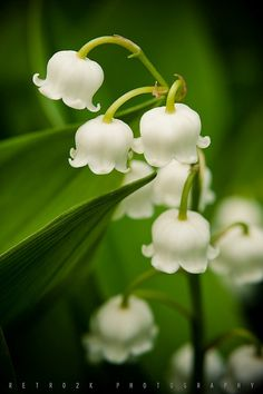 May Bells, Lily of the Valley