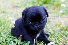 PugSpot - The spot for pugs! Pug Photos, Baby Pugs, Cute Baby Animals, Doggies, French Bulldog, Cute Babies, Labrador Retriever, Puppies, Pug Puppies