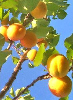Jobos fruit, PR | Foods & more/ comidas y mas | Pinterest | Fruit