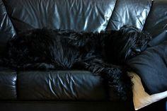 Russian black terrier sleeping