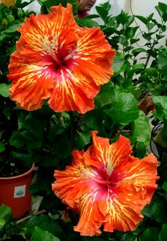 hibiscus flower seeds hibiscus seed bonsai flower seeds 24 Colors to choose plant for home garden Growing Hibiscus, Hibiscus Tree, Hibiscus Garden, Hibiscus Plant, Hibiscus Flowers, All Flowers, Exotic Flowers, Tropical Flowers, Amazing Flowers